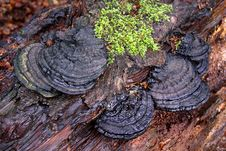 Bracket Fungi And Moss Royalty Free Stock Photo