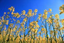 Free Yellow Herb Under Blue Sky Stock Photo - 14103290