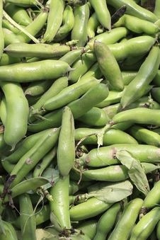 Free Broad Bean Stock Image - 14104491