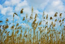 Dry Reed Royalty Free Stock Image