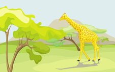 Free Giraffe Stock Photo - 14105920