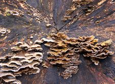 Free Bracket Fungi On A Dead Tree Stock Photo - 14105970