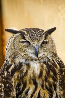 Free Owl Portrait, Golden Owl Stock Image - 14107871
