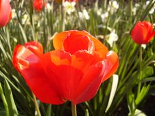 Free Tulip Stock Photos - 14108703