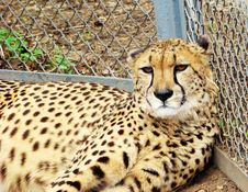 Free Cheetah Lying On A Grass Royalty Free Stock Images - 14109629