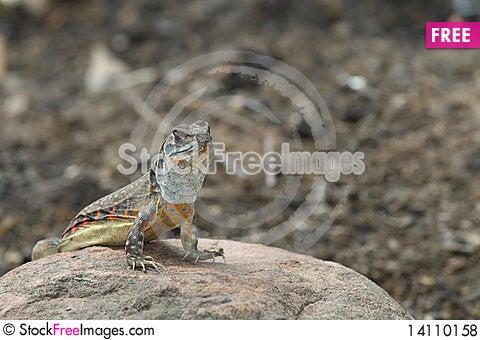 Free Iguana Royalty Free Stock Photos - 14110158