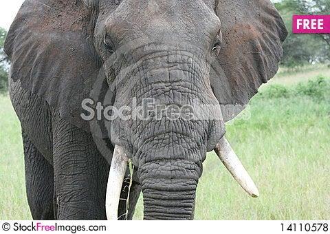 Free Africa Tanzania Big Elephant Royalty Free Stock Photos - 14110578