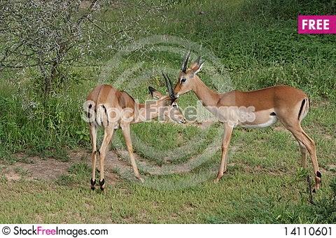 Free Africa Tanzania Thomson S Gazelle Stock Image - 14110601
