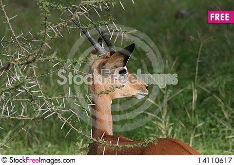 Free Africa, Ngorongoro Reserve Portrait Puppy Impale Royalty Free Stock Photography - 14110617