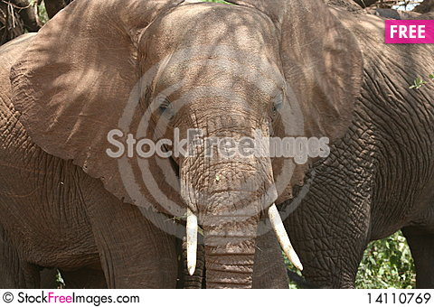 Free Africa Tanzania Close-up Big Elephant African Royalty Free Stock Images - 14110769