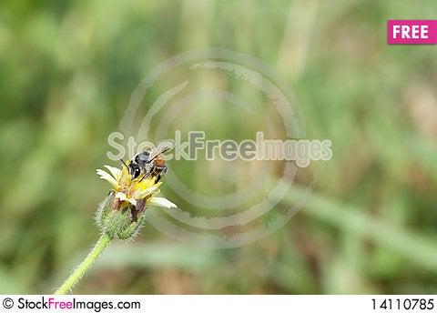 Free Bee Royalty Free Stock Photo - 14110785