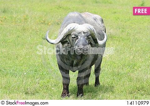 Free Africa Tanzania Buffalo Royalty Free Stock Images - 14110979
