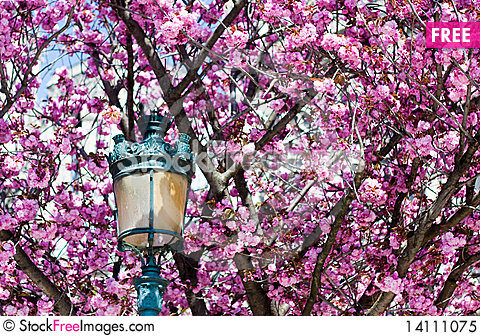 Free Spring Blossoms Royalty Free Stock Photo - 14111075