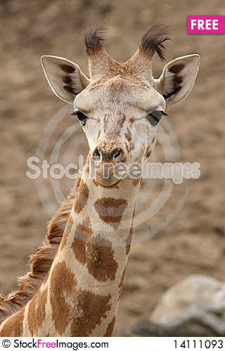 Free Portrait Of A Young Giraffe Stock Photos - 14111093