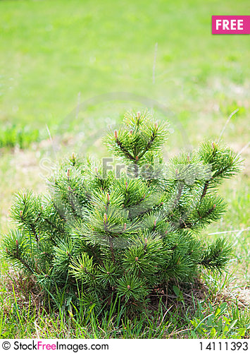 Free Small Pine On Green Background. Stock Photos - 14111393