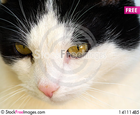 Free Cat Portrait Royalty Free Stock Photo - 14111485