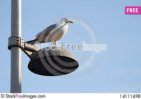 Free Seagull Royalty Free Stock Photos - 14111698