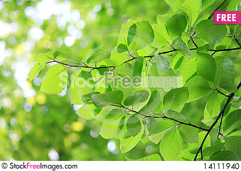 Free Fresh Leaves In Spring Stock Photo - 14111940