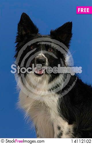 Free Dog Portrait On Blue Background Stock Photography - 14112102