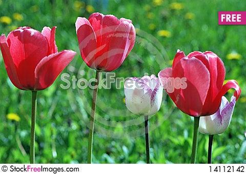 Free Tulips Stock Photography - 14112142
