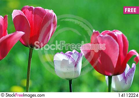Free Tulips Stock Images - 14112224