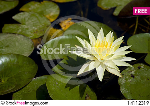 Free Water Lily Royalty Free Stock Images - 14112319