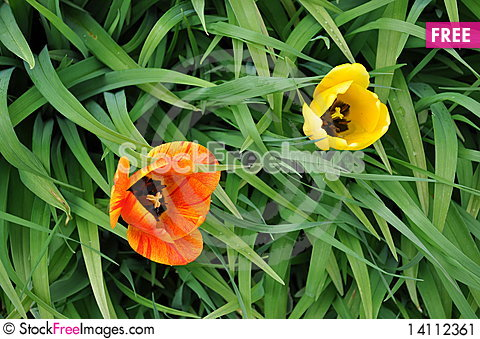 Free Two Colorful Tulips Stock Image - 14112361