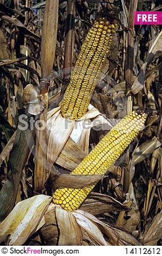 Free Field Corn Stock Photography - 14112612
