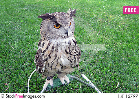 Free Owl Royalty Free Stock Photography - 14112797