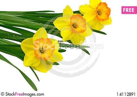Free Bright Yellow Daffodils Stock Image - 14112891