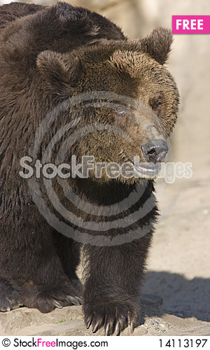 Free Prowling Brown Bear Royalty Free Stock Photography - 14113197