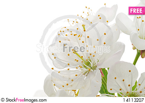 Free Cherry Flowers Royalty Free Stock Photography - 14113207
