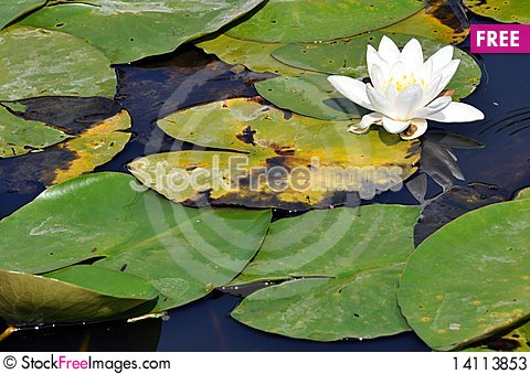 Free Water Lily Resting In A Pond Stock Photos - 14113853
