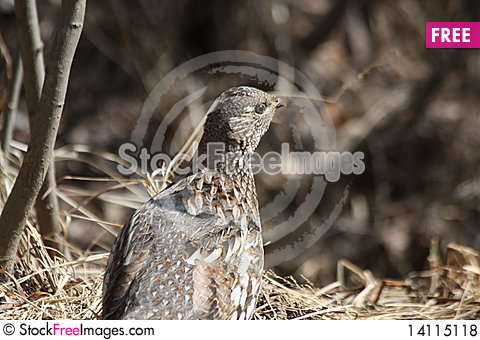 Free Spring Ruffed Grouse Royalty Free Stock Photos - 14115118