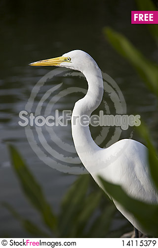 Free Great Egret Royalty Free Stock Images - 14115379