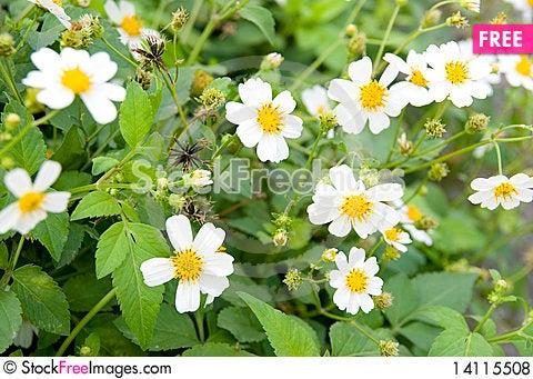 Free The White Flowers Royalty Free Stock Photos - 14115508