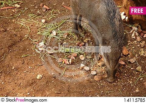 Free Wild Boar Royalty Free Stock Photo - 14115785