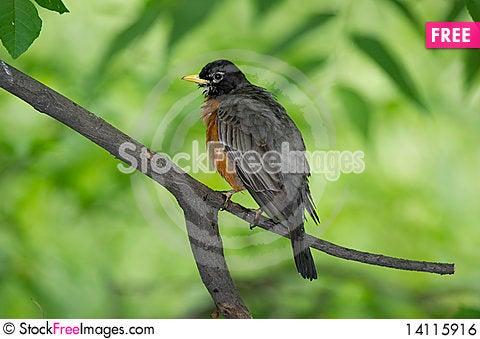 Free American Robin: Turdus Migratorius Royalty Free Stock Image - 14115916