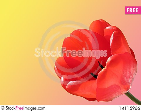Free Tulip Royalty Free Stock Image - 14115966