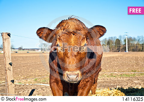 Free Friendly Cattle On Straw Royalty Free Stock Photo - 14116325