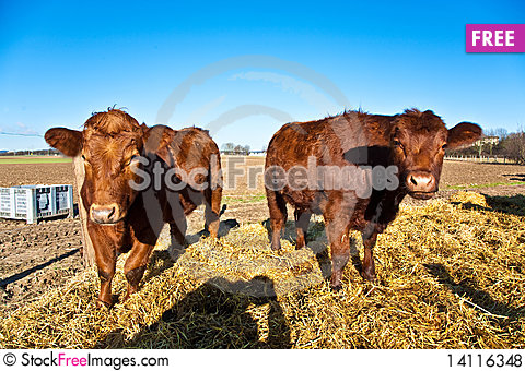 Free Friendly Cattle On Straw Royalty Free Stock Photos - 14116348
