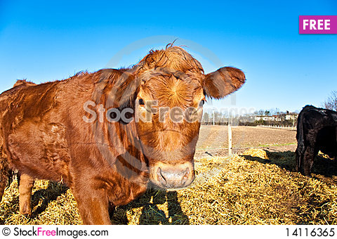 Free Friendly Cattle On Straw Royalty Free Stock Photo - 14116365