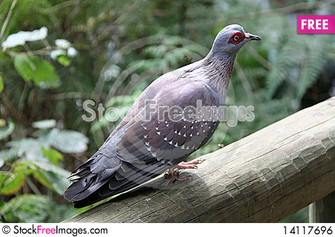 Free African Rock Pigeon Royalty Free Stock Image - 14117696