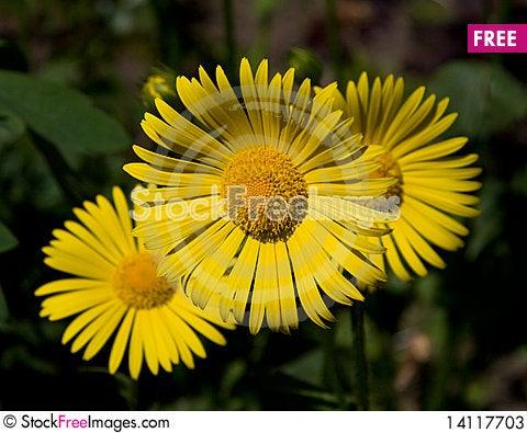 Free Few Yellow Daisies Stock Photos - 14117703