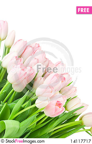 Free Tulips Isolated On White Royalty Free Stock Photography - 14117717