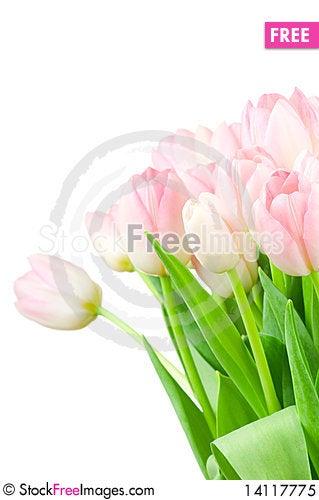 Free Tulips Isolated On White Royalty Free Stock Photo - 14117775