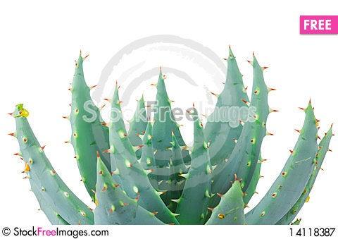 Free Aloe Isolated On White Royalty Free Stock Photography - 14118387