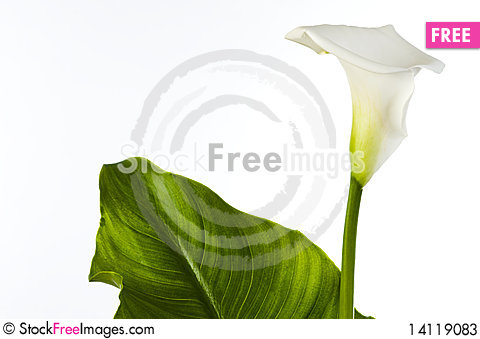 Free Calla Lily With Large Leaf Stock Photos - 14119083