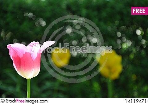 Free Pink Tulip On Sun Stock Image - 14119471