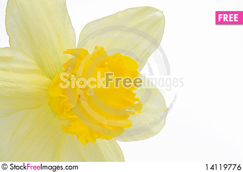 Free Daffodil Isolated On White Royalty Free Stock Image - 14119776